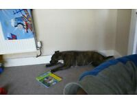 Brindle female staffy x think bullmastiff very loving dog