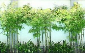 Looking to buy Clumping Bamboo Auburn Auburn Area Preview