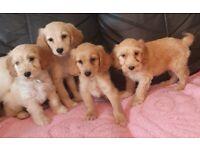 Beautiful litter of cockapoo puppies