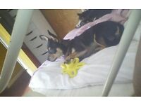 Chihuahua male for sale