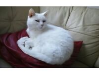 Two white cats for rehome