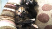 Munchkin x tortoiseshell kittens Pendle Hill Parramatta Area Preview