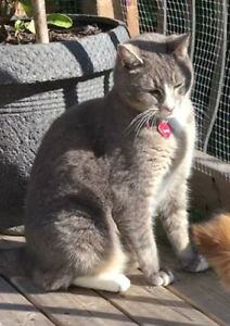 Missing Grey Tabby Cat - MILO - Kingswood Subdivision