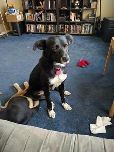 "Adult Female Dog - Border Collie: ""Shmi-adopted"""