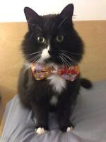 """Adult Male Cat - Domestic Medium Hair-black and white: """"Spike"""""""