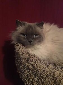 3/4 Himalayan 1/4 Balinese Free to GOOD Home