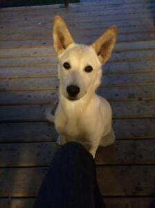 "Young Female Dog - Labrador Retriever-Shepherd: ""Cami-adopted"""