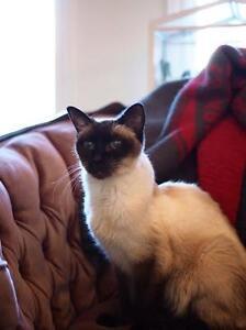 """Senior Female Cat - Siamese: """"Mulan"""""""