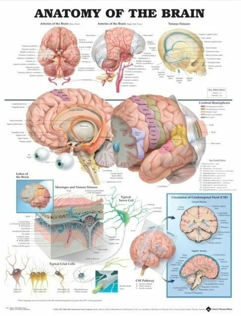 ANATOMY OF THE BRAIN (LAMINATED) POSTER (66x51cm) ANATOMICAL CHART HUMAN MEDICAL