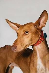 Urgent - Lost Podenco in Montreal