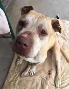 "Senior Male Dog - Shar Pei-Pit Bull Terrier: ""Uncle"""