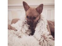 11mth old male chihuahua for sale
