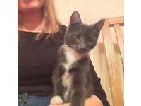 Missing Kitten Castleton Drive area of Newton Mearns