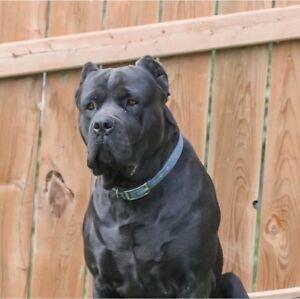 Cane Corso Adopt Dogs Puppies Locally In Winnipeg Kijiji