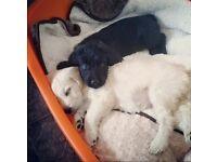 2 labrador pups