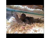 £10 for three female fancy mice, glass cage, bedding, food & accecories