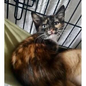 Adopt kitten Violet