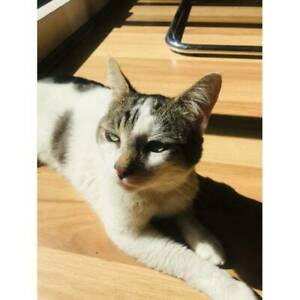 Adopt affectionate male cat
