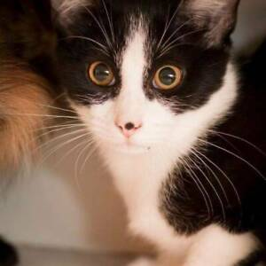 AK0878 : Cora - CAT for ADOPTION - Vet Work Included