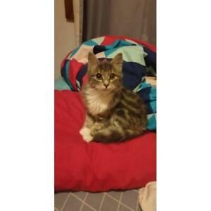 Rosie -  Female Domestic Medium Hair Cat