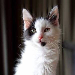 """Clarice - """"2nd Chance Cat Rescue"""" Noble Park Greater Dandenong Preview"""