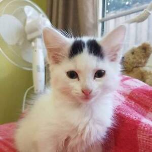 """Hepziba - """"2nd Chance Cat Rescue"""" Noble Park Greater Dandenong Preview"""