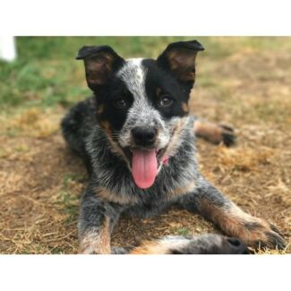 Pippa - Cattle Dog - 15 weeks - Available for adoption