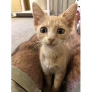 Audrey Friendly Female Kitten 13 weeks old