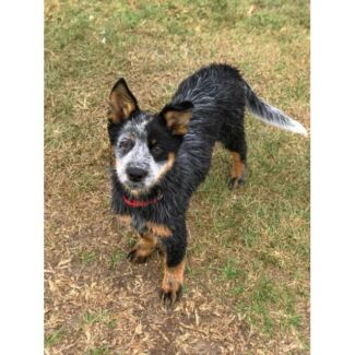 Poppy - Cattle Dog - 15 weeks - Available for adoption