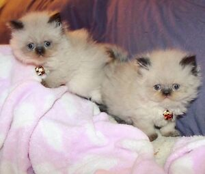 Expecting Himalayan Kittens