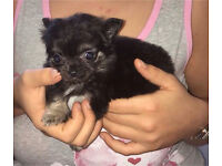 Adorable Chihuahua Puppy's For Sale