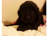 Black Goldendoodles for sale in Cumbria Golden Doodle