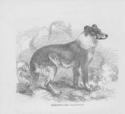 English Shepherd Schäferhund HOLZSTICH von 1863 wood engraving Gravure