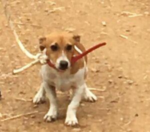 Jack Russells puppy