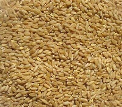 4 pounds Winter Wheat Seed  Deer Food Plot/ Garden Cover Crop Free Ship