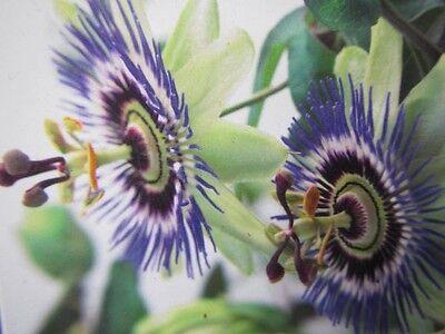 Passiflora caerulea - Passionsblume -  Winterharte Pflanze 40-60cm - Früchte