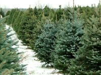🎄‼️CHRISTMAS TREES - WHOLESALE‼️🎄
