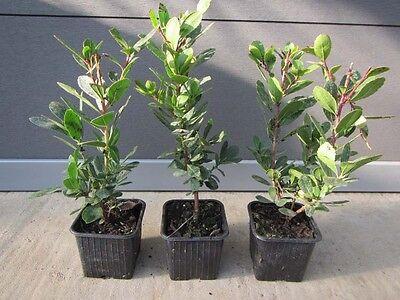 Arbutus unedo - westl. Erdbeerbaum - winterharte Pflanze 20-35cm essbare Früchte