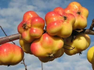 Apfelquitte Apfelbaum Quittenbaum Apfel Quitte Busch winterhart 120-150 cm