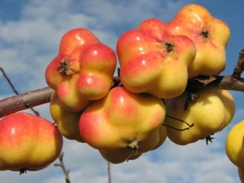Apfelbaum 'APISTAR'® - saftige Stern Apfelfrüchte -winterharte Pflanze 150-170cm