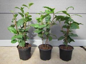 Camellia sinensis - Teepflanze - Echter Teestrauch – Pflanze 25-35cm - Tee