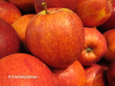 Apfelbaum 'Gala' - winterharte Pflanze 150-170cm im Topf - gesunde Apfel Sorte