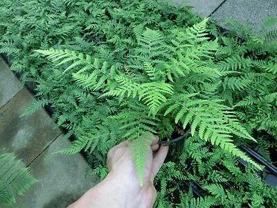 Dicksonia antarctica - Baumfarn  -12°C   15-20cm Jungpflanze
