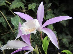 Pleione formosana - blühreife Gartenorchidee Pflanze Winterhart 3 Jahre
