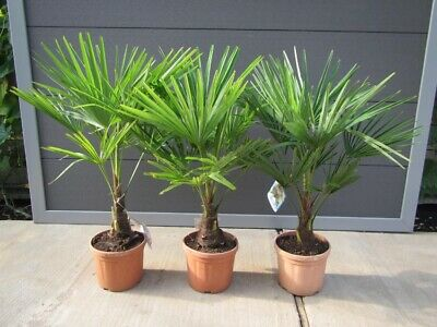 Trachycarpus fortunei - Hanfpalme 50-70cm - Winterhart -18°C - Gartenpalme