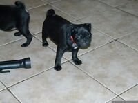 1 female pug puppy left out of litter of 5 10 weeks old ready to leave now