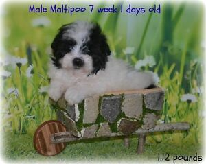 Maltipoo !! Only 1 male left :)