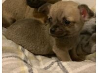Adorable lilac/tan chihuahua puppy
