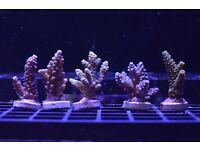 Acropora SPS coral Frags - Marine Aquarium / Fish Tank