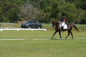 14-14.1hh Sh x Rp 9yr old gelding pony dressage Canungra Ipswich South Preview